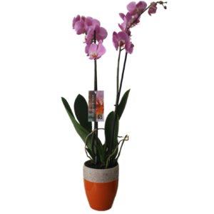 orhideja-cvjecara-aralia